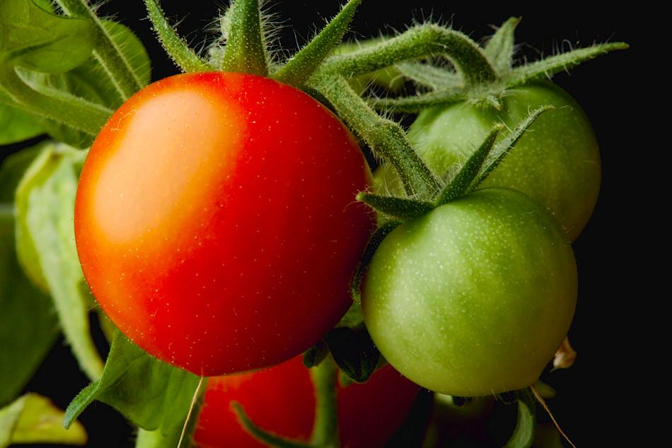 tomater-en-exponering_mg_8691