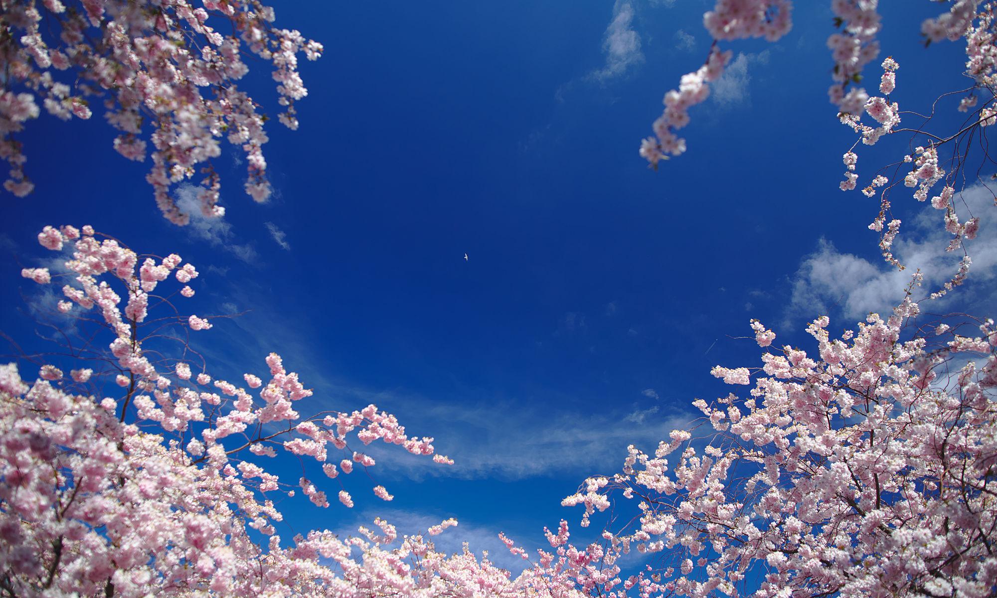 Körsbärsblomning med fågel i skyn